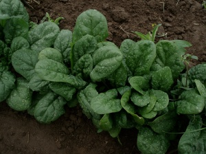 Spinach - coming soon to your plate.