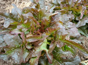 lovely Oak Leaf Lettuce