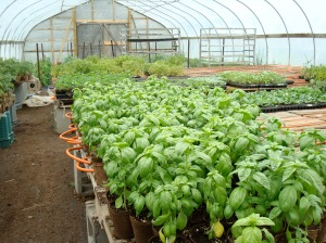 Tasty potted Basil plants