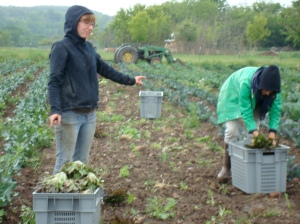 Jeanette and Annie harvesting lettuce