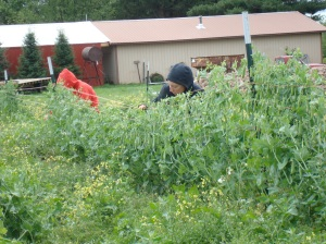This Wednesday: Erica and Jeannette pea pickin in sweatshirts!