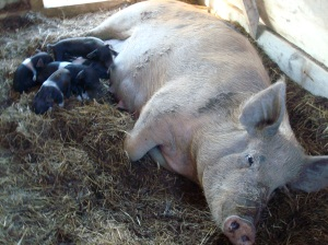 Mama Lilac with her new piglets!