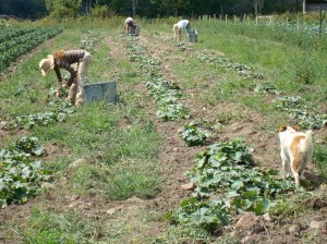 cucumber pickers