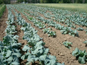 Fall Brassica's, oats in back