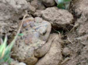 one of the many toads found in the field