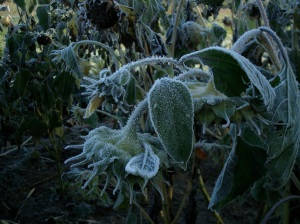 frost on the sunflowers